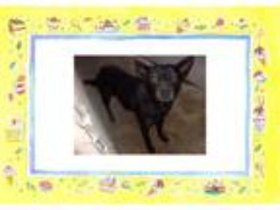 Adopt LILY a Black Labrador Retriever / Mixed dog in KELLYVILLE, OK (24559799)