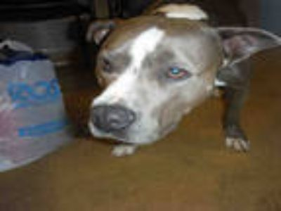 Adopt LILLY a Gray/Silver/Salt & Pepper - with White American Pit Bull Terrier /