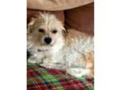Adopt Walter a Tan/Yellow/Fawn Terrier (Unknown Type, Small) / Mixed dog in