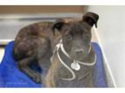 Adopt FERRA a Brindle American Pit Bull Terrier / Mixed dog in Tucson
