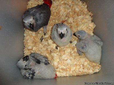 AFRICAN GREY MALE AND FEMALE FOR SALE