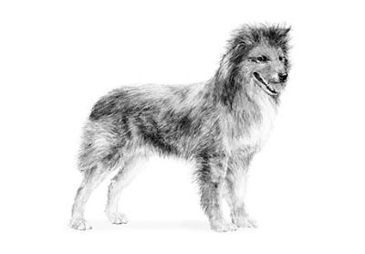 Pyrenean Shepherd Puppies