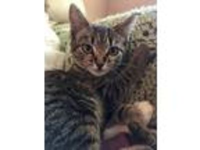 Adopt Lupe a Brown Tabby Domestic Shorthair (short coat) cat in Tampa