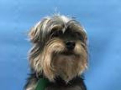 Adopt Tina a Havanese, Yorkshire Terrier