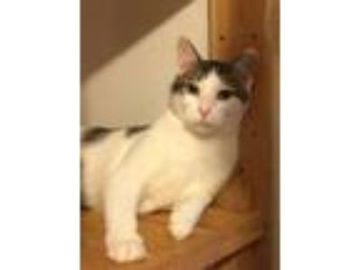 Adopt Seatle a White (Mostly) Domestic Shorthair (short coat) cat in Monroe