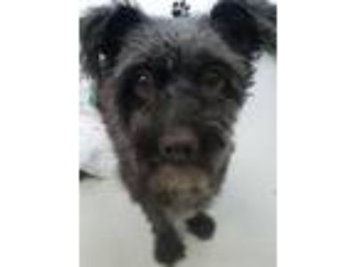 Adopt Smokey a Black - with Gray or Silver Terrier (Unknown Type