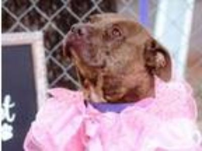 Adopt Gracie a American Staffordshire Terrier