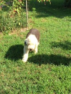 Old English Sheepdog PUPPY FOR SALE ADN-95309 - Hardy
