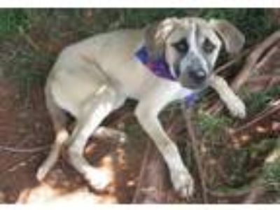 Adopt ANGEL 308653 a Labrador Retriever, Mastiff