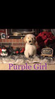 Goldendoodle PUPPY FOR SALE ADN-109545 - Golden Doodles
