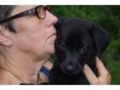 Adopt Gianna a Black German Shepherd Dog / Labrador Retriever / Mixed dog in