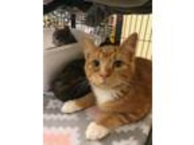 Adopt French Fry a Domestic Short Hair