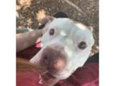 Adopt *CHOMPERS a White - with Brown or Chocolate American Pit Bull Terrier /