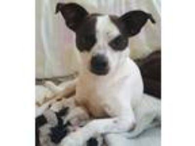 Adopt Domino in a San Antonio, TX a Tricolor (Tan/Brown & Black & White) Jack