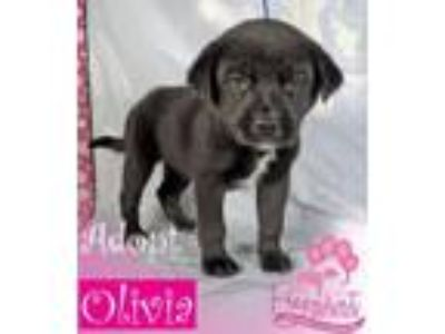 Adopt Olivia a Border Collie, Labrador Retriever