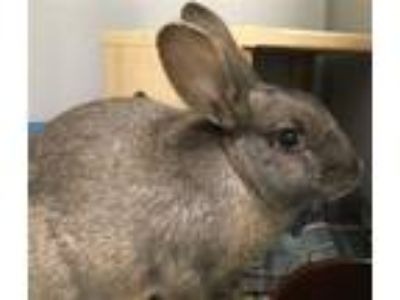 Adopt Mercury a American / Mixed rabbit in Pittsburgh, PA (25645627)