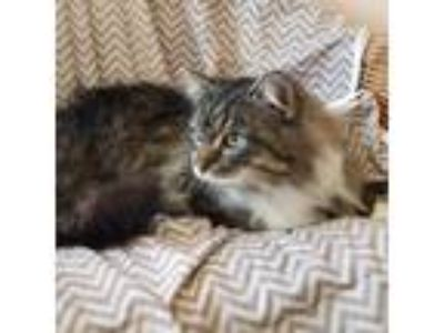 Adopt Tommy Boy a Maine Coon cat in Westmont, IL (25323977)
