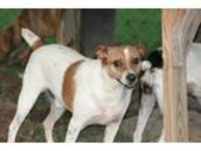 Adopt Johnny a White - with Red, Golden, Orange or Chestnut Jack Russell Terrier