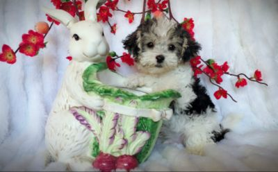Yorkshire Terrier PUPPY FOR SALE ADN-96757 - CUTE MALTESE MIXED WITH YORKIE