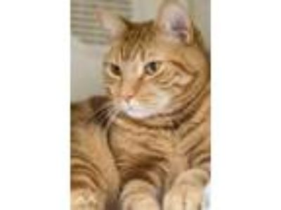 Adopt Cookie a Orange or Red Domestic Shorthair / Domestic Shorthair / Mixed cat