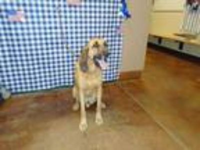 Adopt Dog a Brown/Chocolate Bloodhound / Mixed dog in Thousand Palms