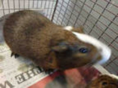 Adopt JET a Brown or Chocolate Guinea Pig / Mixed small animal in Los Angeles