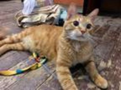 Adopt Juice a Orange or Red Domestic Shorthair (short coat) cat in St.