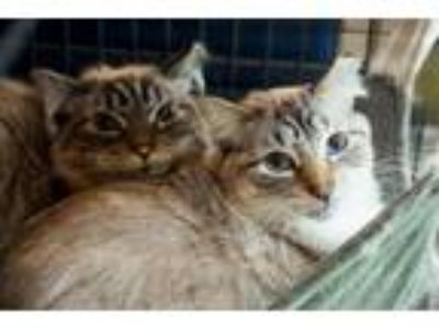 Adopt Andrew & Marcus a Siamese, Domestic Medium Hair