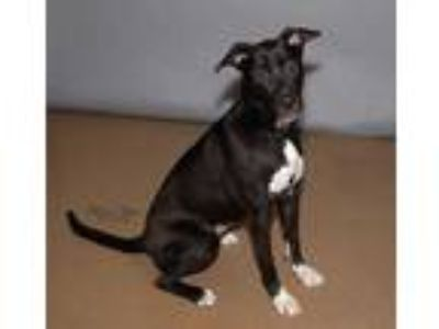 Adopt JADE a Black - with White Labrador Retriever / Mixed dog in St.
