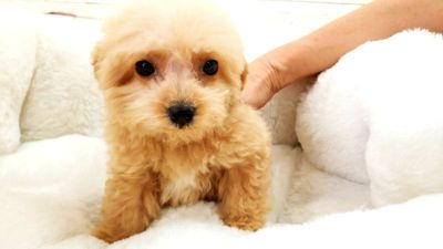 French Poodle Puppy - Male - Ace ($2,699)