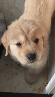 Golden Retriever PUPPY FOR SALE ADN-109516 - Golden Retriever Puppies