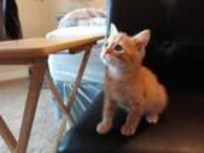 Adopt Leo a Orange or Red Domestic Mediumhair / Domestic Shorthair / Mixed cat