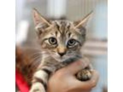 Adopt Sticky a Domestic Short Hair