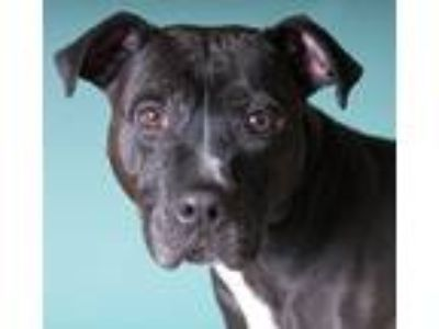 Adopt Frankie a Black - with White American Pit Bull Terrier / Labrador