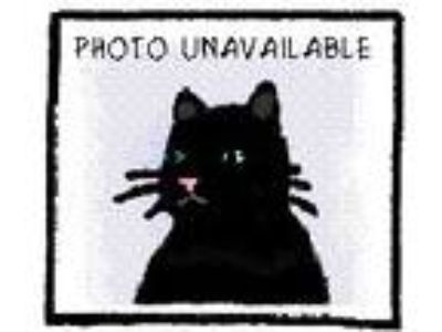 Adopt Darth a Domestic Short Hair