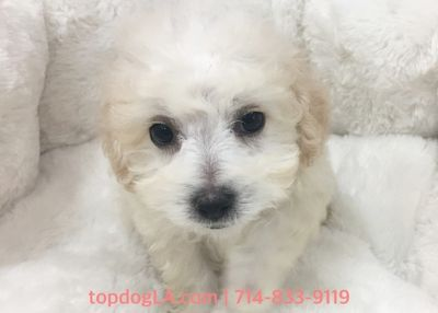 Maltipoo PUPPY FOR SALE ADN-78649 - Maltipoo Male Barney