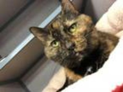 Adopt Super lover Lisa Marie! THERAPY POTENTIAL! DECLAWED DOLL!! a Tortoiseshell