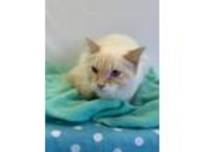 Adopt Candy a Domestic Longhair / Mixed (short coat) cat in Rushville