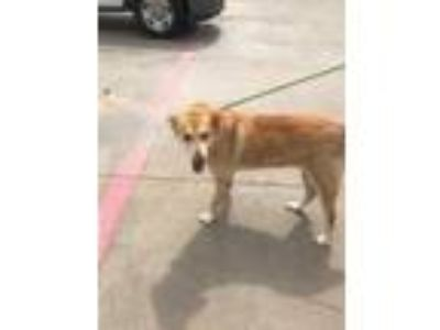 Adopt 41980826 a Tan/Yellow/Fawn Golden Retriever / Mixed dog in Balch Springs