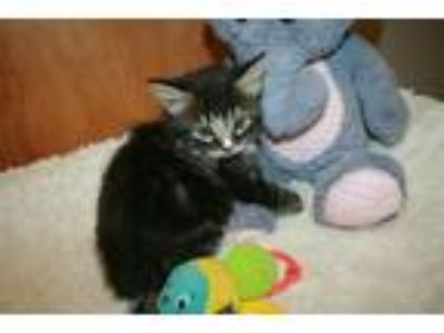 Adopt A517815 a Domestic Medium Hair