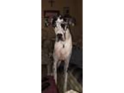 Adopt Sebastian a White - with Black Great Dane dog in Lancaster, KY (25661307)