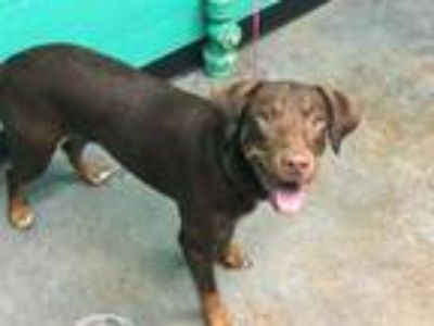 Adopt A667069 a Doberman Pinscher, Mixed Breed