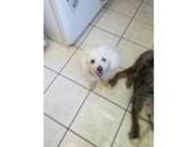 Adopt Starr a White Poodle (Toy or Tea Cup) dog in Ocala, FL (25539691)