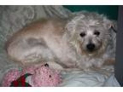 Adopt bonnie a White Parson Russell Terrier / Chinese Crested / Mixed dog in