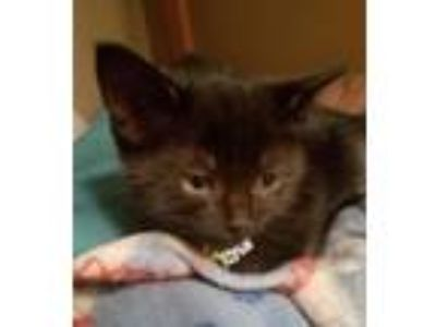 Adopt Nebula a Domestic Short Hair