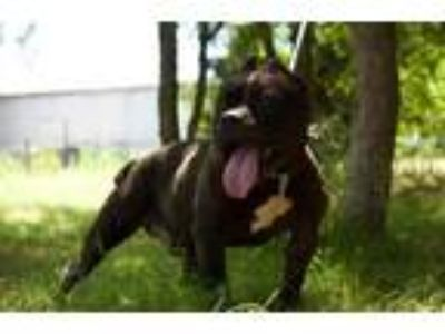 Adopt Tooth a Black American Pit Bull Terrier / Mixed dog in Justin