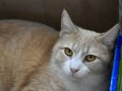 Adopt Elliot Peaches a Tan or Fawn Domestic Shorthair (short coat) cat in Pine