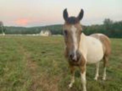 Adopt Gibby a Paint / Pinto, Quarterhorse