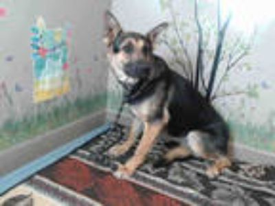 Adopt MISSY a Black - with Tan, Yellow or Fawn German Shepherd Dog / Mixed dog