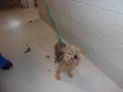 Adopt BABY GIRL a Yorkshire Terrier, Mixed Breed